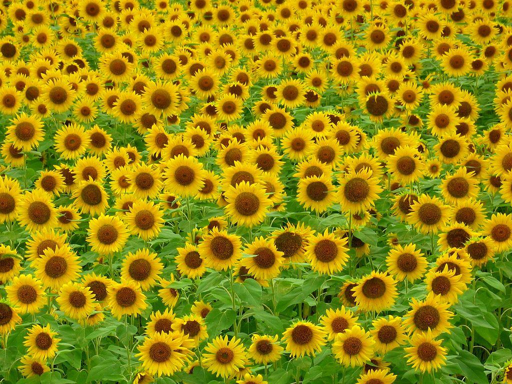 ひまわり畑とひまわりの花 壁紙写真 花の無料壁紙写真 花の無料写真素材 四季の花の写真集