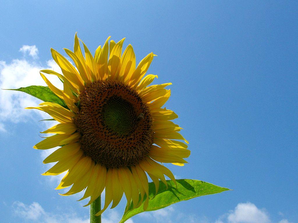 ひまわりの花と夏の空 壁紙写真 花の無料壁紙写真 花の無料写真素材 四季の花の写真集