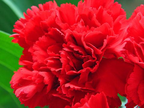 Carnation_001
