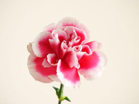 Carnation_002