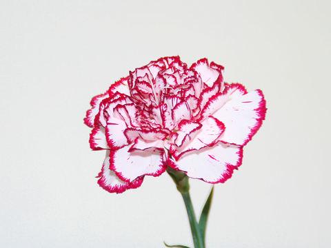 Carnation_003