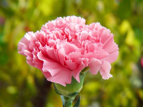 Carnation_004