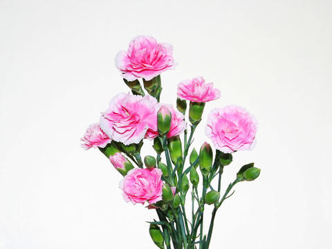 Carnation_005