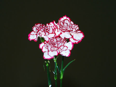 Carnation_006