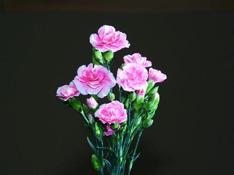 Carnation_007