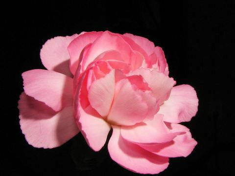 Carnation_008