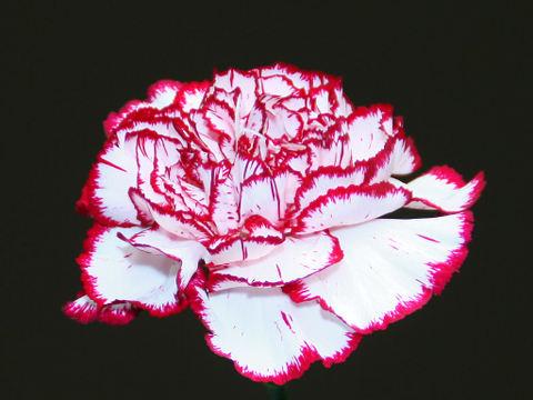 Carnation_009