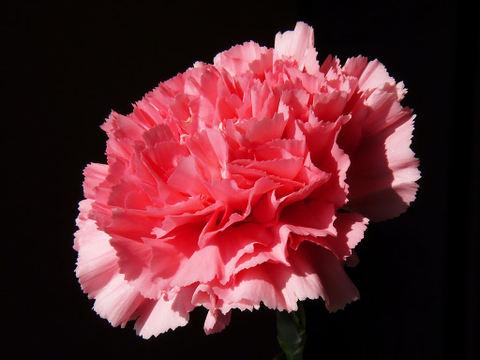 Carnation_010