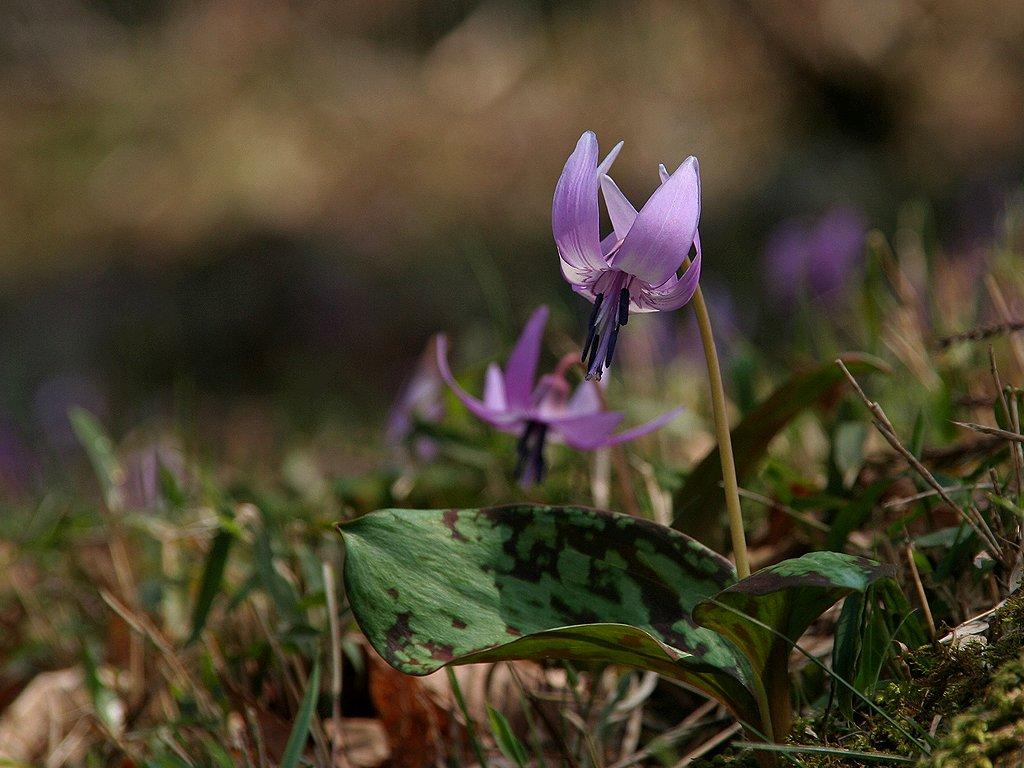 片栗(カタクリ)の花/春の花