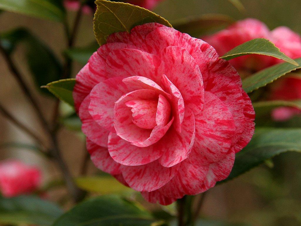 椿(ツバキ)の花/春の花