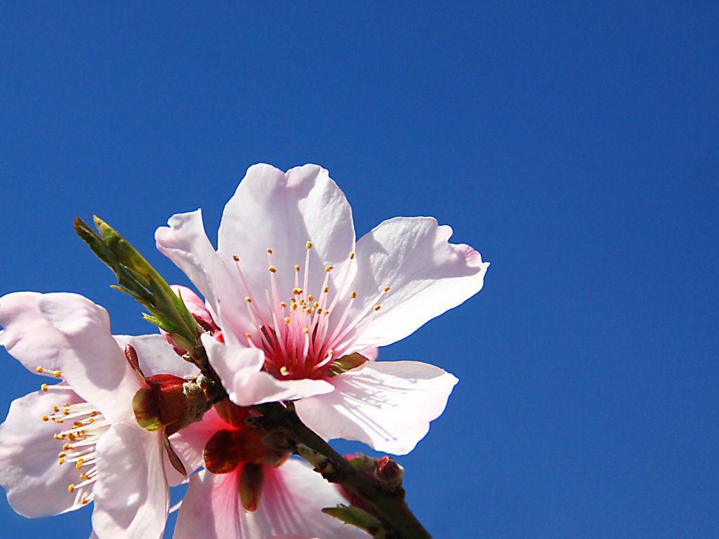 壁紙・アーモンドの花