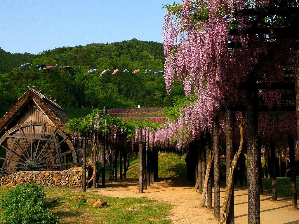 藤(フジ)の花・藤棚と水車小屋の壁紙写真/春の花風景写真無料写真素材