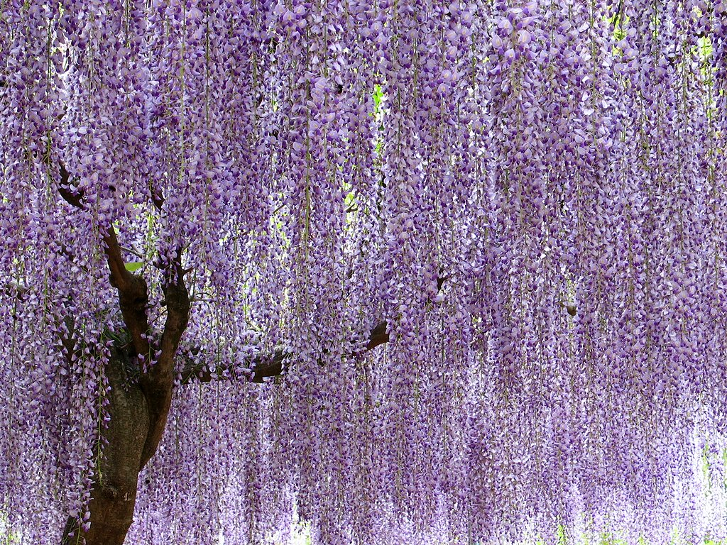 藤(ふじ)の花・藤の木の壁紙写真/春の花風景写真無料写真素材