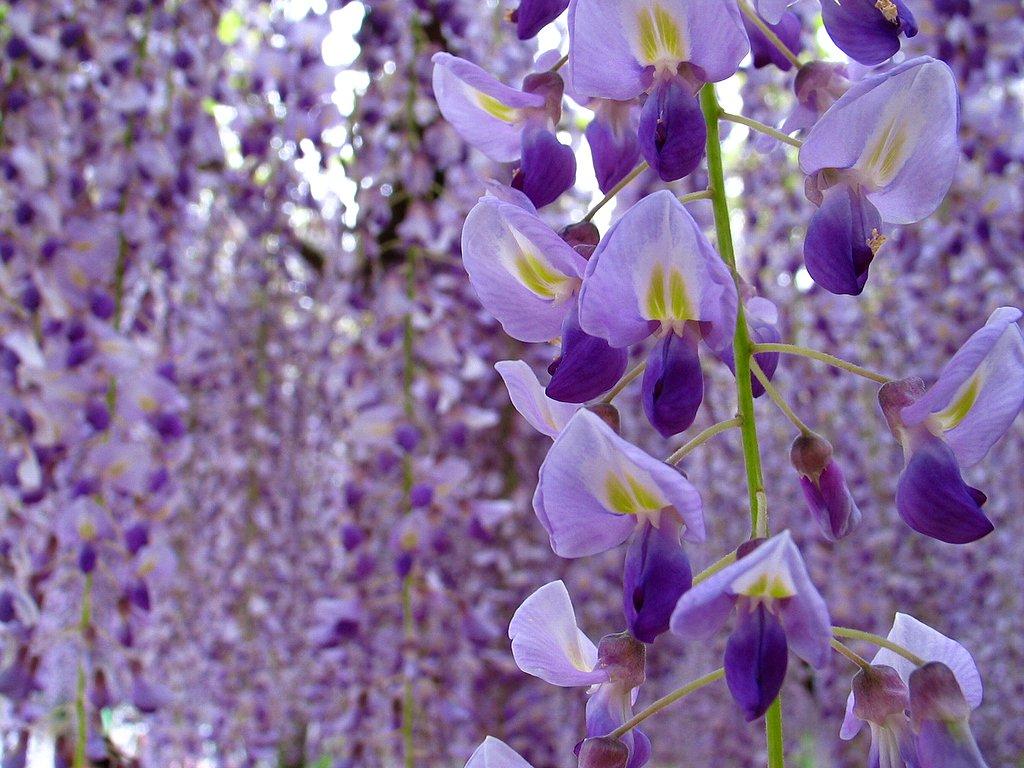 花の無料壁紙写真・花の無料写真素材・四季の花の写真集: 春の花◆藤・藤棚・フジの花