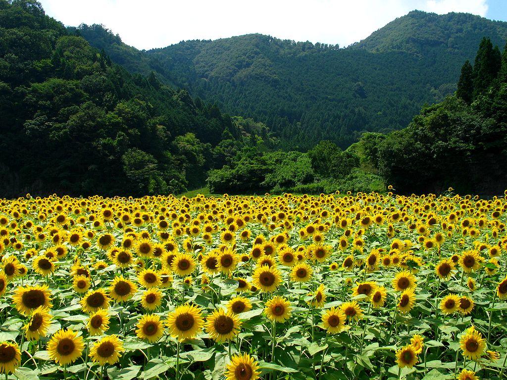 向日葵(ヒマワリ)の花・ひまわり畑
