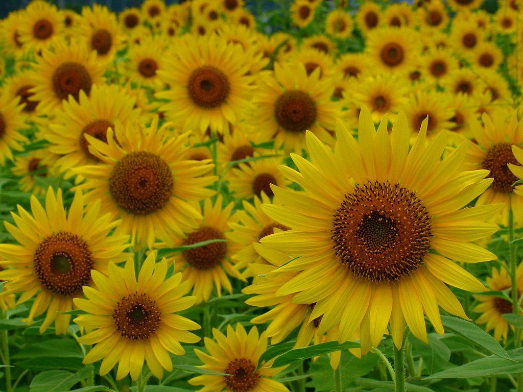 ひまわり畑とひまわりの花