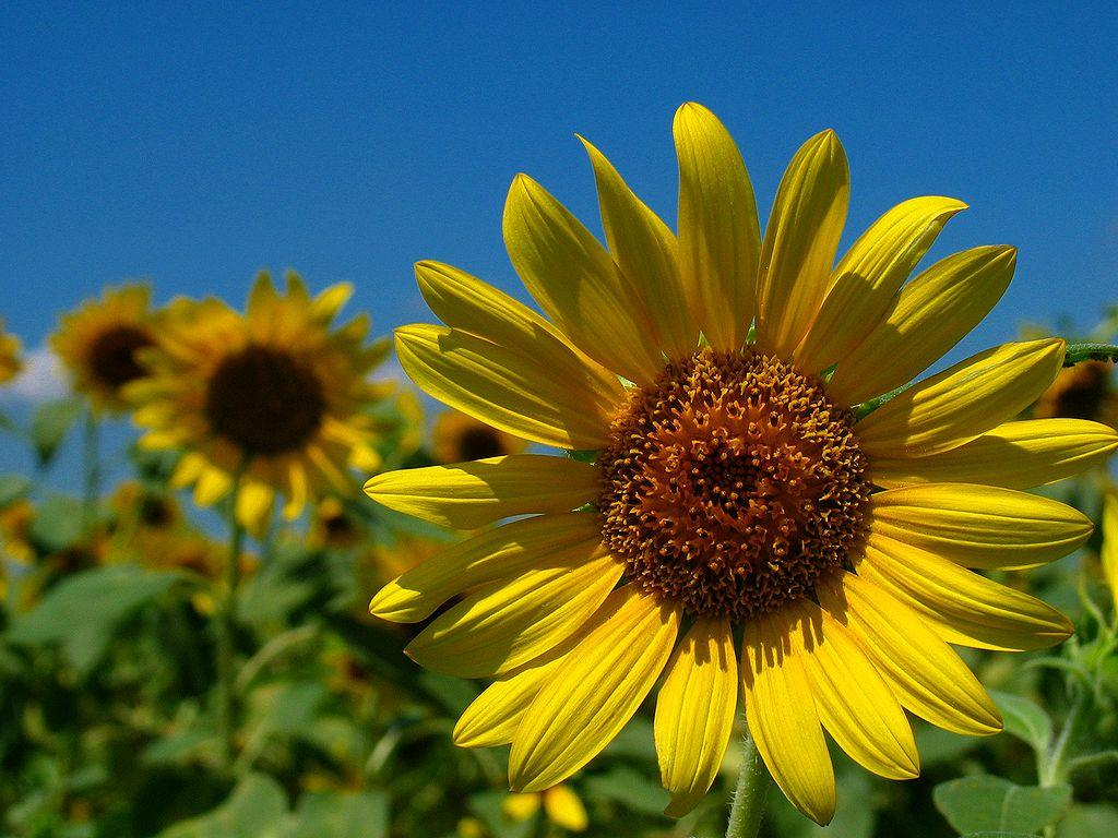 ひまわりの花と夏の空/ひまわり畑とひまわりの花