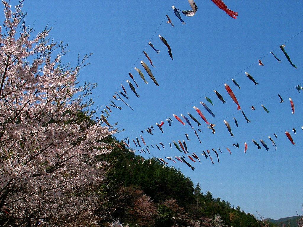 端午の節句 鯉のぼりと桜の壁紙写真/春の風景写真無料写真素材