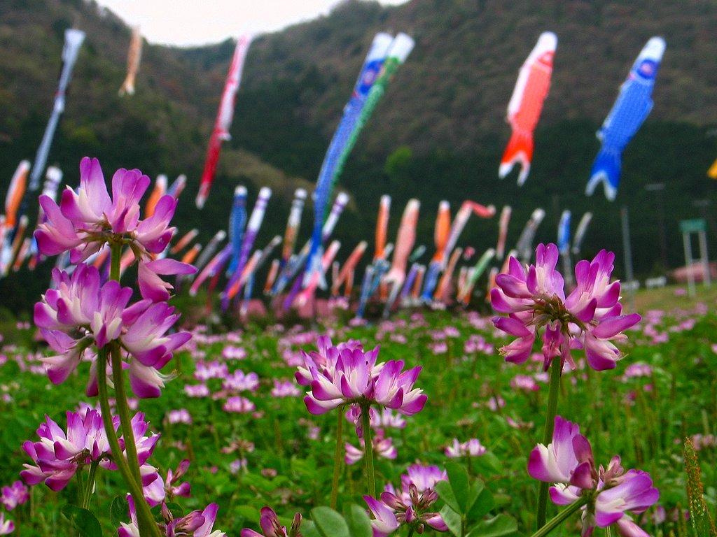 端午の節句 鯉のぼりとレンゲの花壁紙写真/春の風景写真無料写真素材