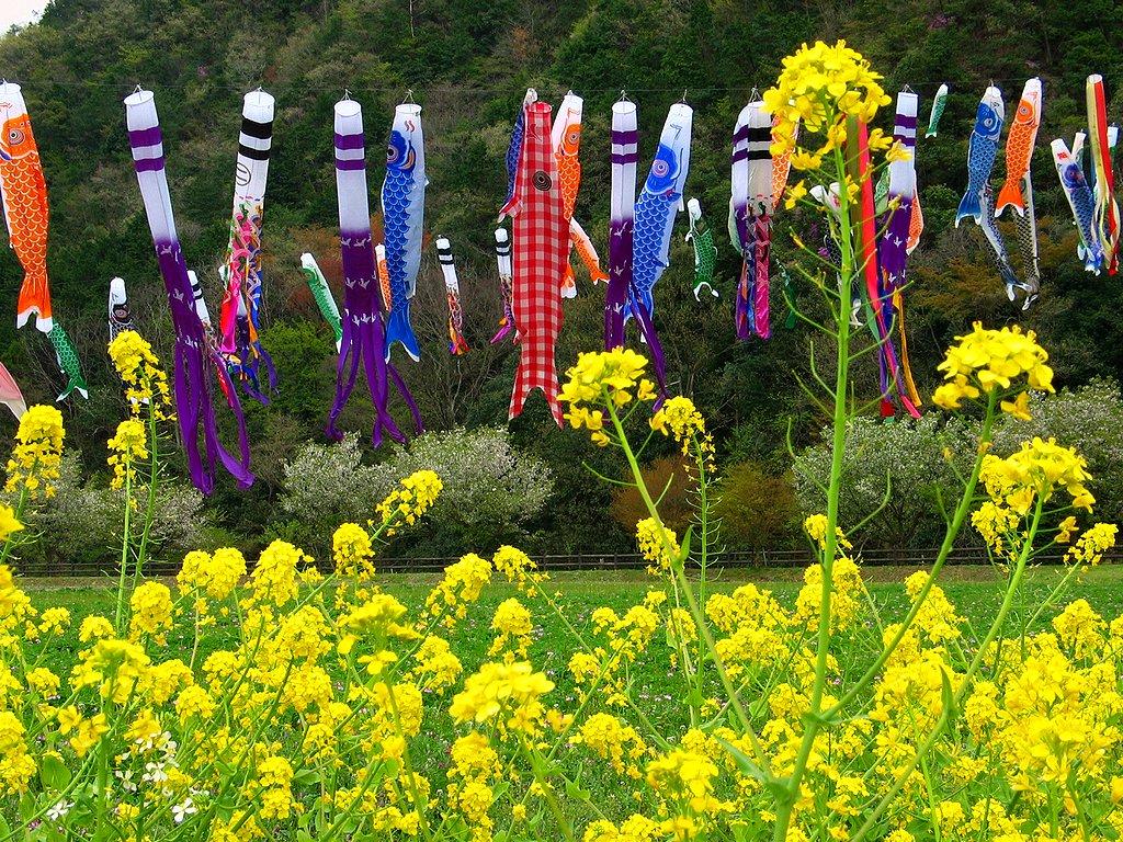 端午の節句 鯉のぼりと菜の花の壁紙写真/春の風景写真無料写真素材