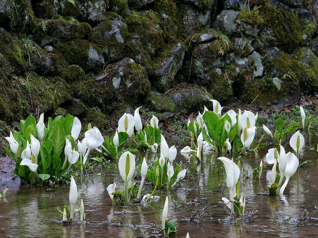 ミズバショウ(水芭蕉)の花壁紙写真/春の花風景写真無料写真素材