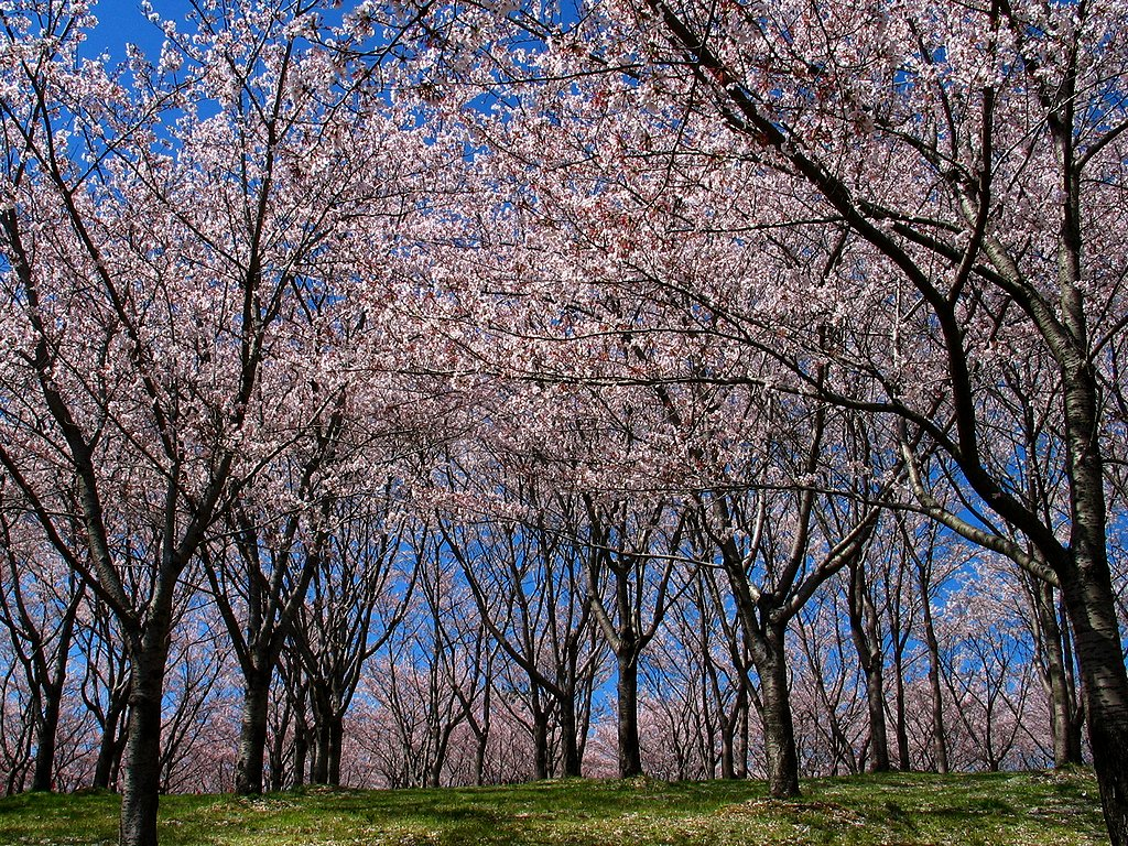 桜(サクラ)の風景壁紙写真/春の花無料写真素材