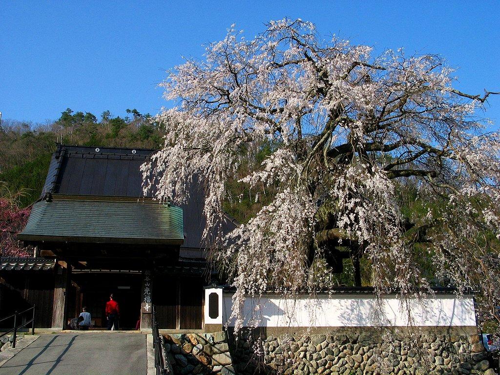 枝垂れ桜(しだれ桜)壁紙写真/春の花無料写真素材