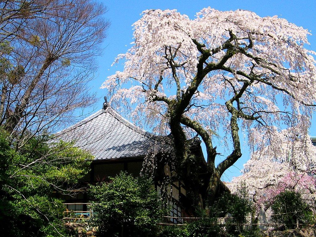 しだれ桜(枝垂れ桜)壁紙写真/春の花無料写真素材