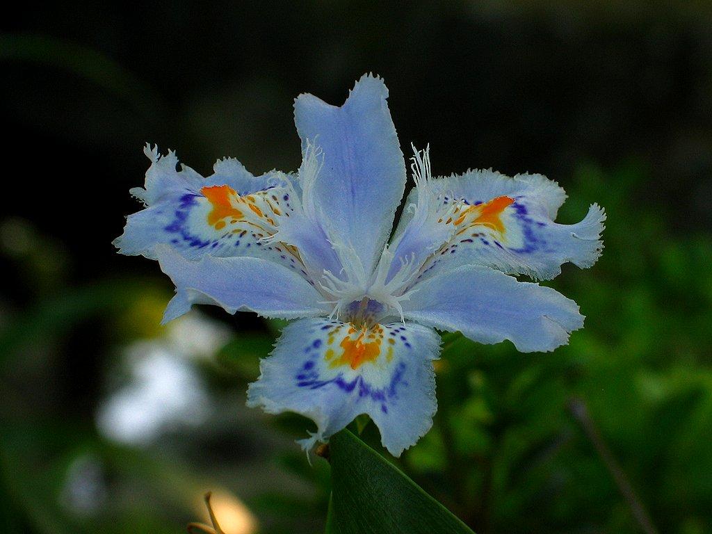著莪(シャガ)の花