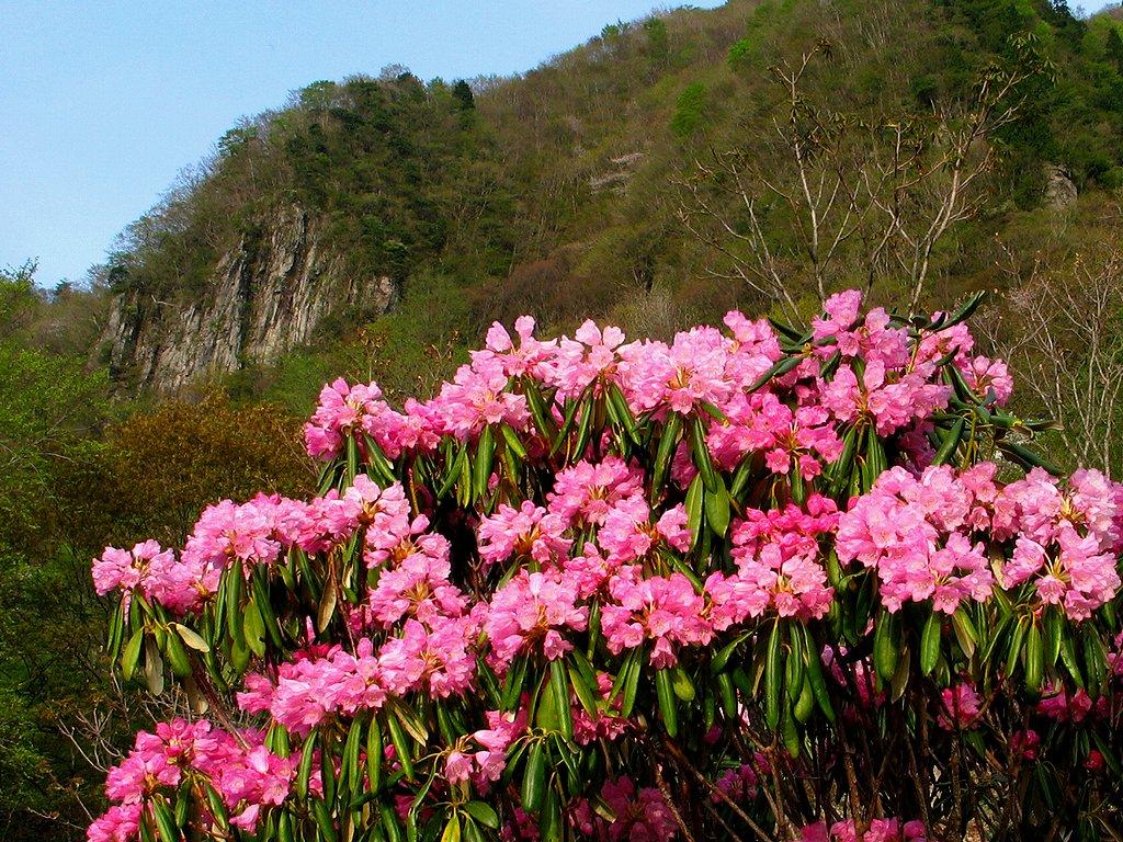 シャクナゲ(石楠花)の花壁紙写真/春の花風景写真無料写真素材