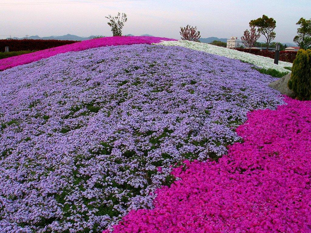 芝桜(シバザクラ)の壁紙写真/春の花無料写真素材