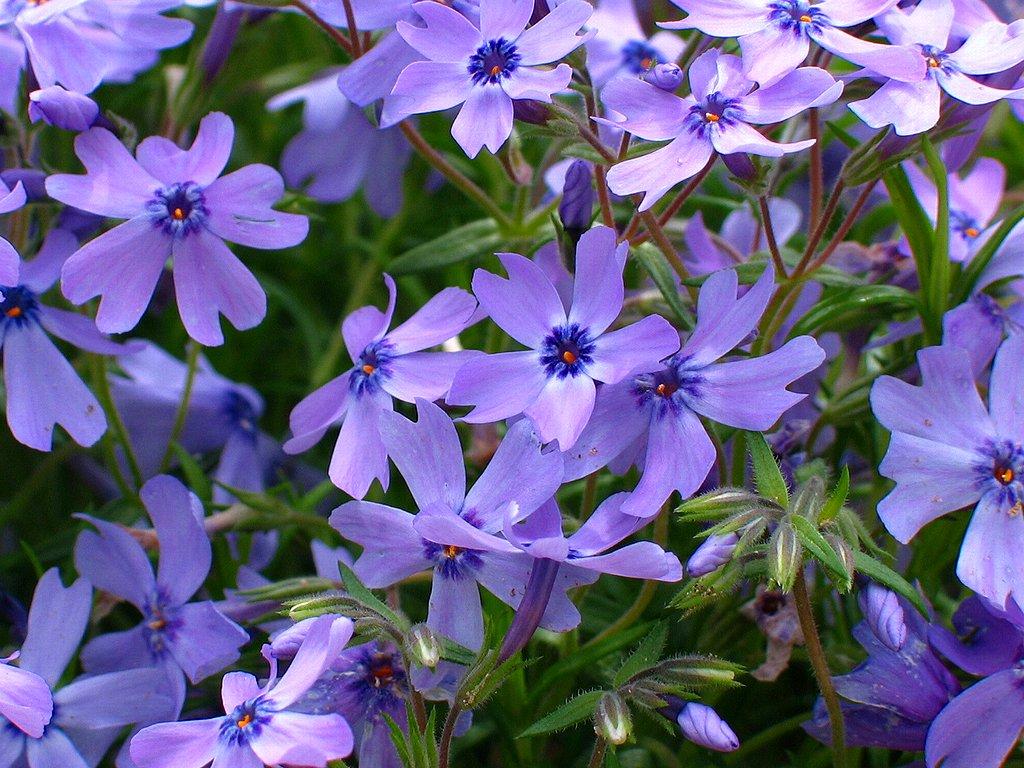 芝桜(シバザクラ)の花壁紙写真/春の花無料写真素材