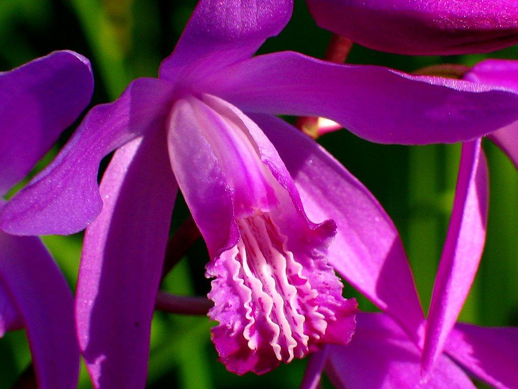 紫蘭(シラン)の花