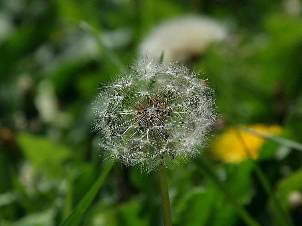 蒲公英(タンポポ)の花