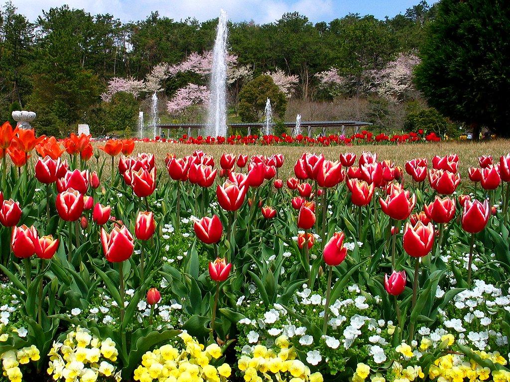 チューリップの花壁紙写真/春の花風景写真無料写真素材