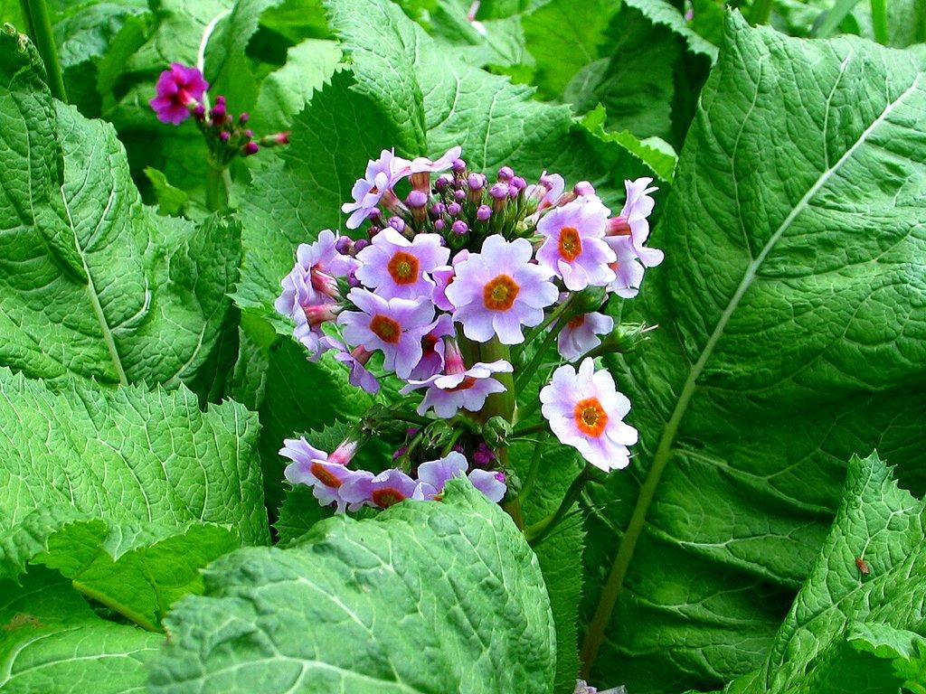 九輪草 クリンソウ の花 壁紙写真 花の無料壁紙写真 花の無料写真