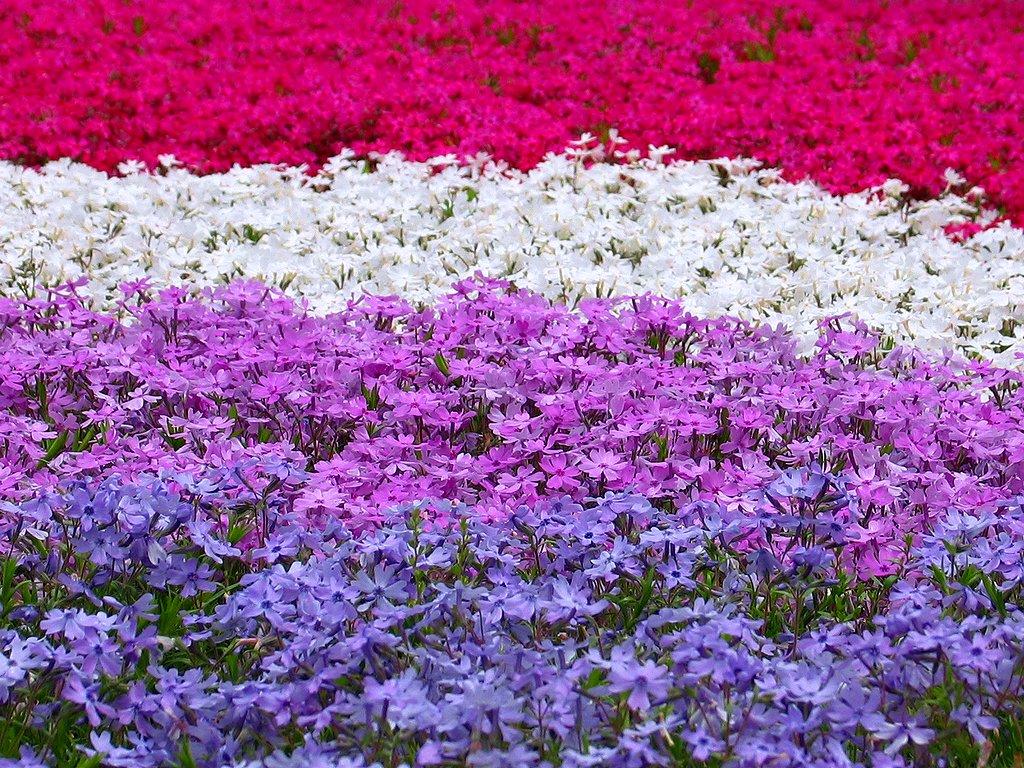 芝桜 シバザクラ の壁紙 花の無料壁紙写真 花の無料写真素材 四季