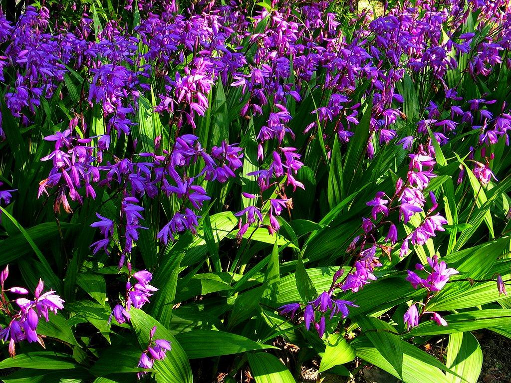 紫蘭 シラン の花 壁紙写真 花の無料壁紙写真 花の無料写真素材