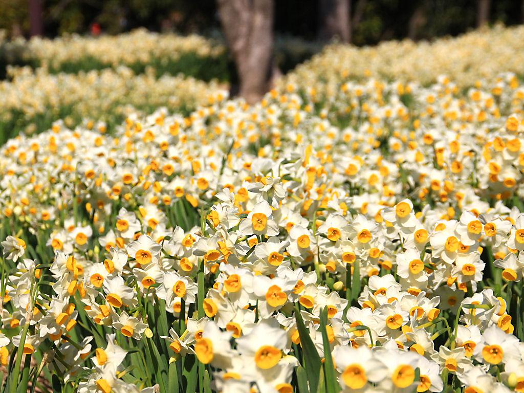 壁紙 スイセンの花 Xgaデスクトップ水仙の壁紙 花の無料壁紙写真