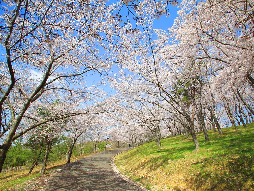 壁紙 桜 Xga1024 768デスクトップ壁紙 ぶらり兵庫 ぶらり神戸