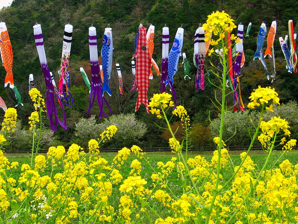端午の節句 鯉のぼりと菜の花の壁紙写真 花の無料壁紙写真 花の無料