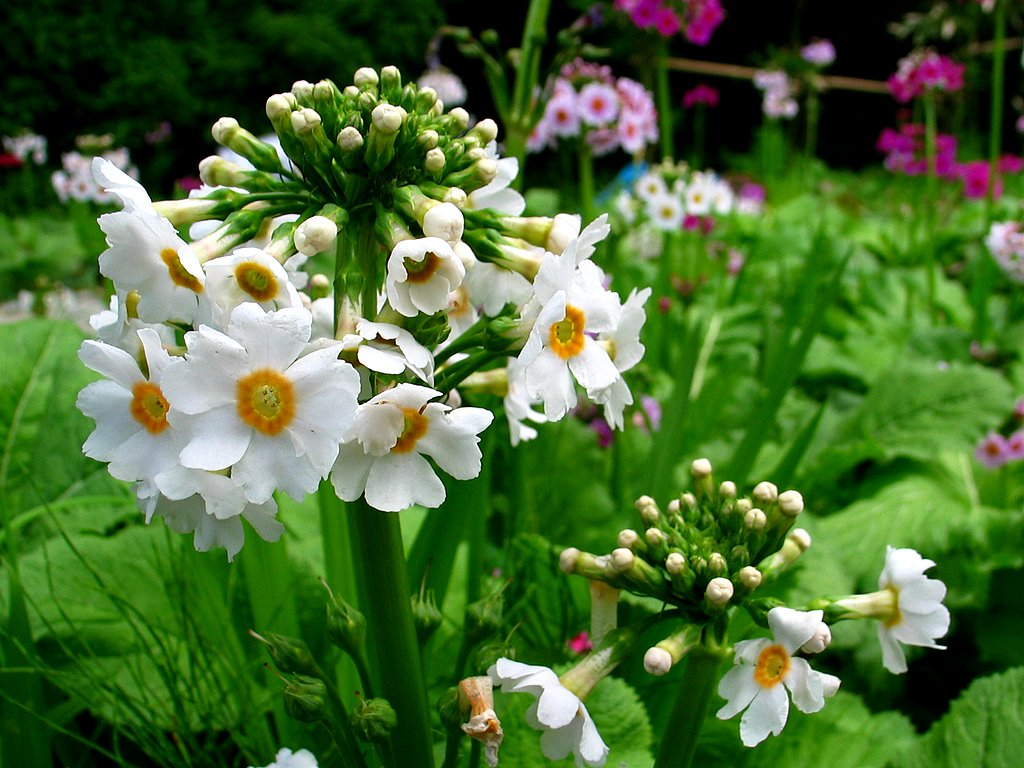 春の花 九輪草 クリンソウ の花 花の無料壁紙写真 花の無料写真素材