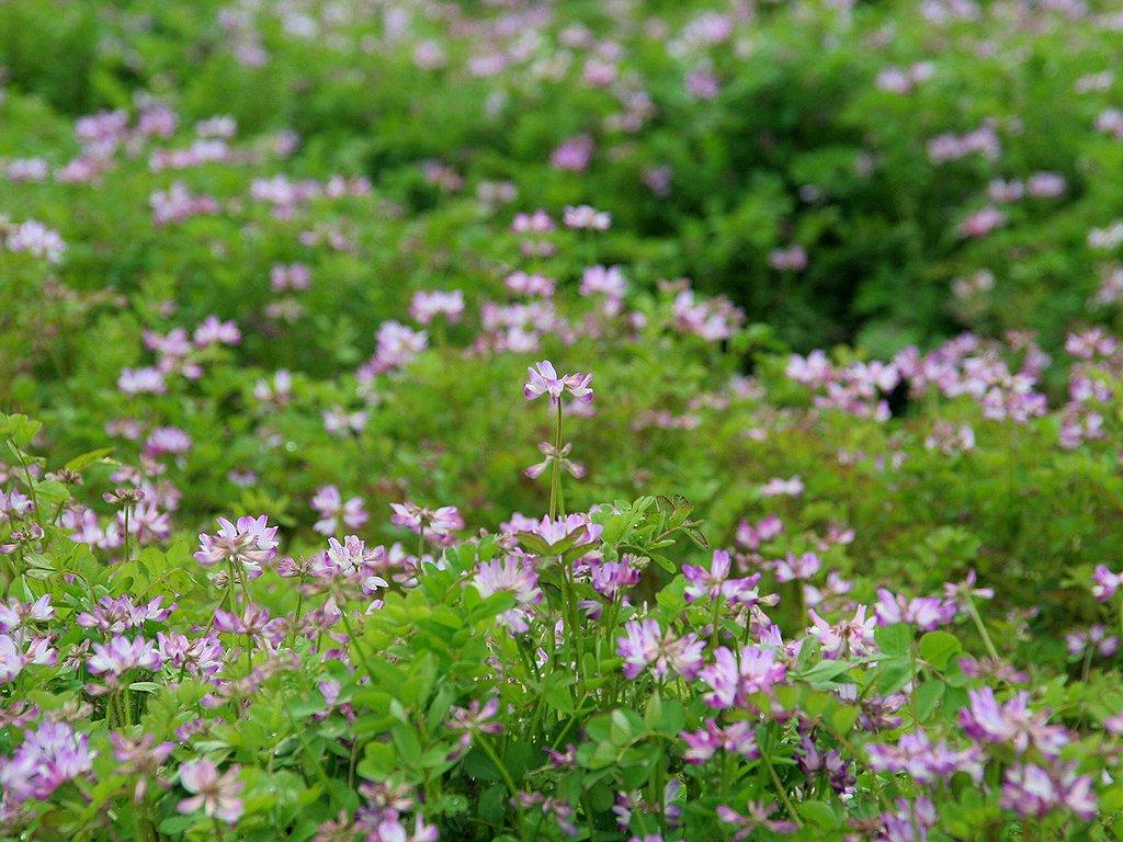 ひまわり畑とひまわりの花 壁紙写真 花の無料壁紙写真 花の無料写真