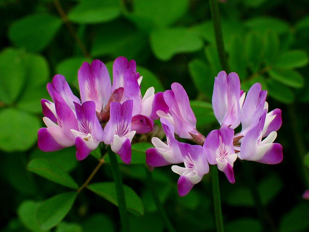 春の花 蓮花 レンゲ の花 花の無料壁紙写真 花の無料写真素材 四季